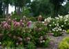 Gatsby Pink Hydrangea Next To Sidewalk