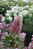 Pink Gatsby Pink Hydrangea Flower Close Up