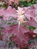 Gatsby Pink Hydrangea Fall Foliage