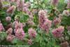 Gatsby Pink Hydrangea Shrub Covered in Flowers