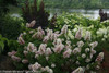 Gatsby Pink Hydrangea Next To The River