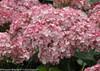 Incrediball Blush Hydrangea Flowers Close Up