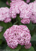 Smooth Incrediball Blush Hydrangea Flowers