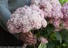 Fresh Cut Incrediball Blush Hydrangea Flowers