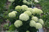 Mophead Invincibelle Limetta Hydrangea Flowers