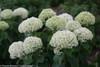 Invincibelle Limetta Hydrangea Stems and Flowers