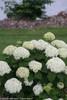 White Invincibelle Limetta Hydrangea Flowers