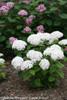 Small Invincibelle Limetta Hydrangea Shrub Flowering