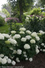 Invincibelle Limetta Hydrangea in Flower Garden