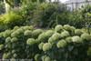 Invincibelle Limetta Hydrangea Hedge
