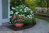 Incrediball Hydrangea By Sidewalk
