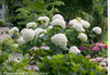 Incrediball Hydrangea Flowers in Landscaping