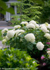 Incrediball Hydrangea Shrub in Landscaping