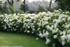 Large Incrediball Hydrangea Hedge With White Flowers