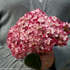 Large Invincibelle Ruby Hydrangea Flower