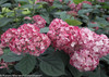 Invincibelle Ruby Hydrangea Shrub With Green Foliage and Pink Flowers