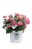 Invincibelle Ruby Hydrangea in Branded Pot