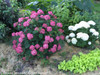 Invincibelle Ruby Hydrangea in Landscaping