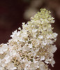 White Little Lamb Hydrangea Bloom Close Up