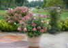 Little Quick Fire Hydrangea in Large Garden Planter