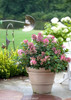 Little Quick Fire Hydrangea in Garden Pot