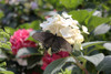 White Little Quick Fire Hydrangea Flower With Butterfly