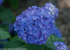 Let's Dance Rave Hydrangea Blue Flower