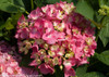 Pink Let's Dance Rave Hydrangea Bloom