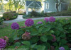 Purple Let's Dance Rave Hydrangea Shrubs in Landscaping
