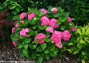 Let's Dance Rave Hydrangea Shrub With Pink Flowers