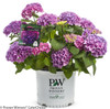 Let's Dance Rave Hydrangea in Branded Pot