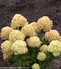 Compact Little Lime Hydrangea Shrubs With Large Flowers