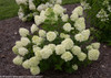 3 Year Old Little Lime Hydrangea Shrub