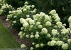 Little Lime Hydrangea in the Landscaping