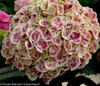Pink and White Cityline Mars Hydrangea Bloom Close Up
