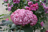 Large Invincibelle Mini Mauvette Hydrangea Flower on Stem