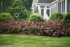 Large Invincibelle Mini Mauvette Hydrangea Hedge Blooming