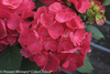 Dark Red Cityline Paris Hydrangea Flowers