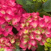Pink and Green Cityline Paris Hydrangea Blooms