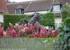 Large Pink Pinky Winky Hydrangea Flowers Next To Garden Statue