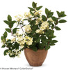 Quick Fire Hydrangea Growing in a Pot
