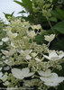 White Quick Fire Hydrangea Flower Close Up