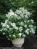 Quick Fire Hydrangea with White Flowers in Planter