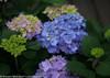 Let's Dance Rhythmic Blue Hydrangea Foliage and Flowers