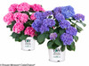 Let's Dance Rhythmic Blue Hydrangea in Branded Pots