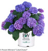 Let's Dance Rhythmic Blue Hydrangea in Branded Pot