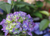 Beautiful Cityline Rio Hydrangea Macrophylla Flowers