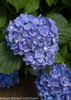 Blue and Yellow Cityline Rio Hydrangea Blooms