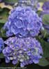 Blue Cityline Rio Hydrangea Mophead Blooms
