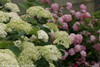 Lime Rickey Hydrangea Flowers on Strong Stems